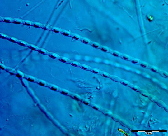 Web image size Image_1463 strepto bacillus 60 oil