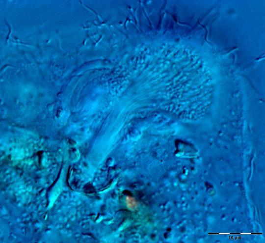 Image_3168 Joenia anterior axostyle fibres WEB SIZE